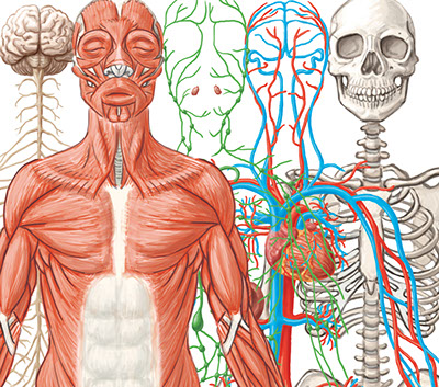 Organ Systems At Work Interactive L6 3 Scigen Serp