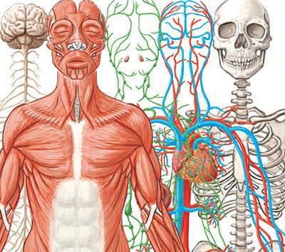 Organ Systems At Work Interactive L6 3 SciGen SERP